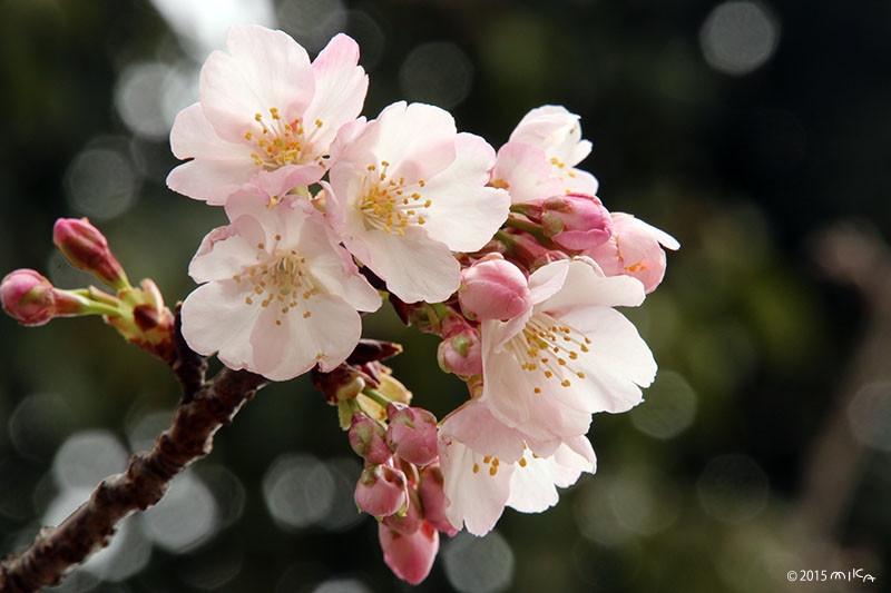 アンギョウカンザクラ(安行寒桜)②
