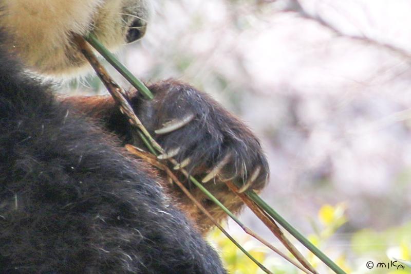 パンダの爪