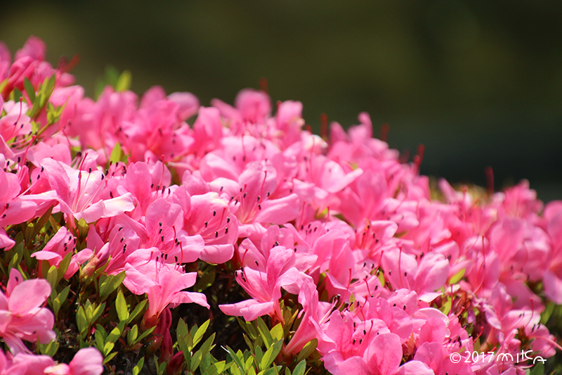 サツキ(皐月つつじ)ピンク