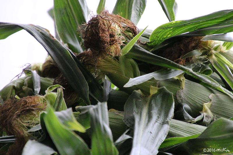トウモロコシの収穫(実は黄色)