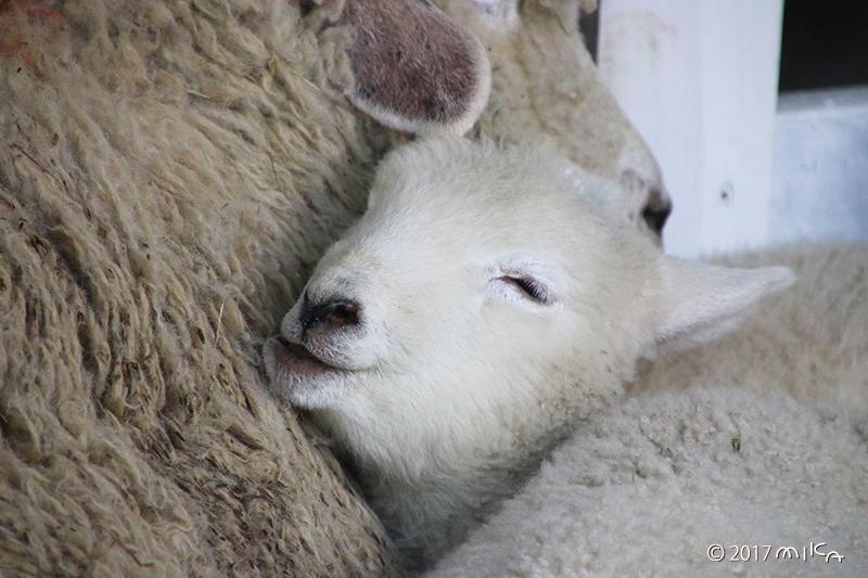 子羊の寝顔①(モグモグ口を少しあけている)