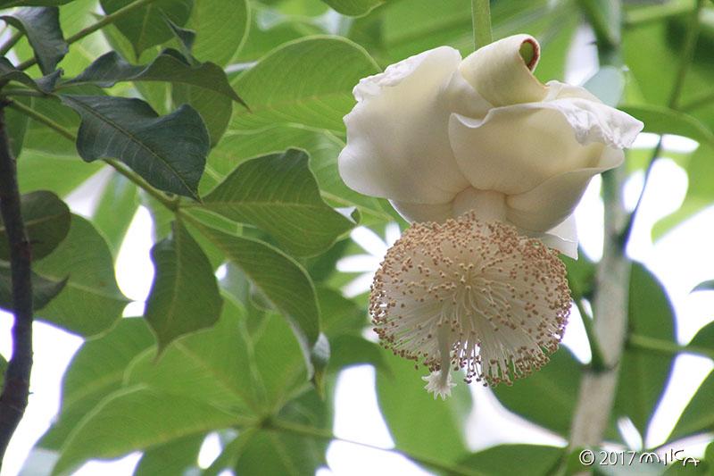 バオバブの花③