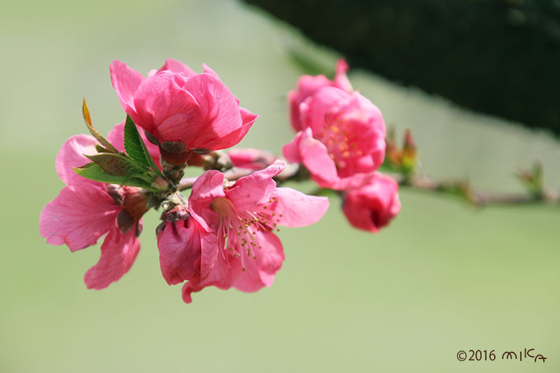 モモの花(ピンク)①