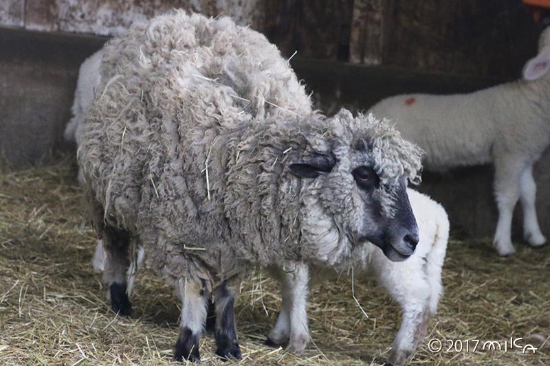 黒っぽい羊