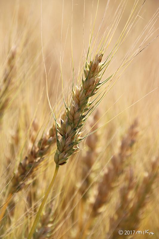 熟す麦の穂①