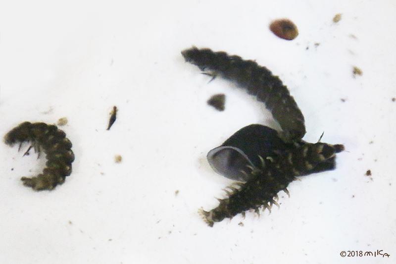ホタルの幼虫①