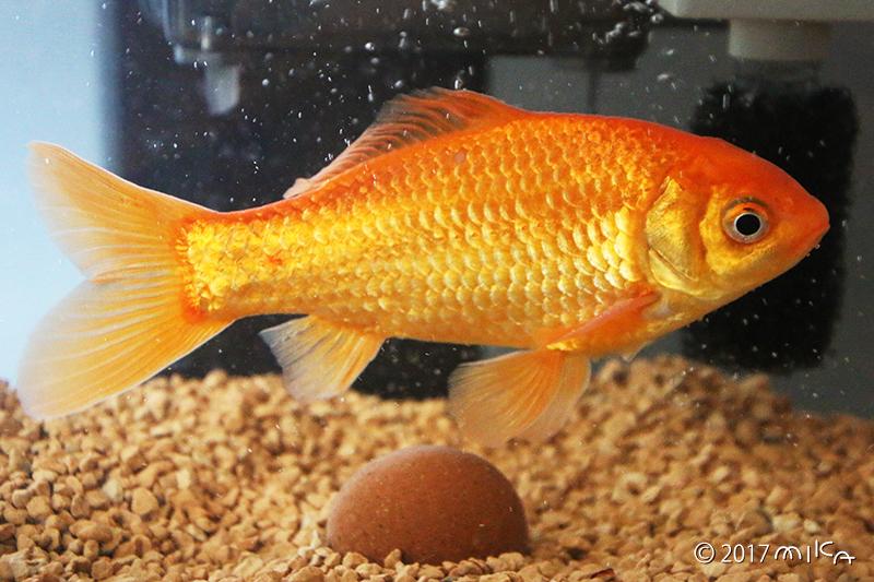 2年後の金魚 16cm