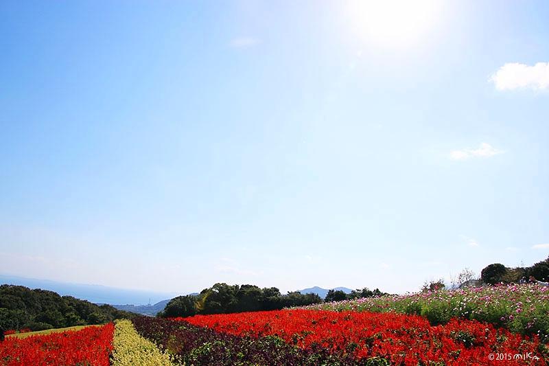 サルビアの花畑(あわじ花さじき)