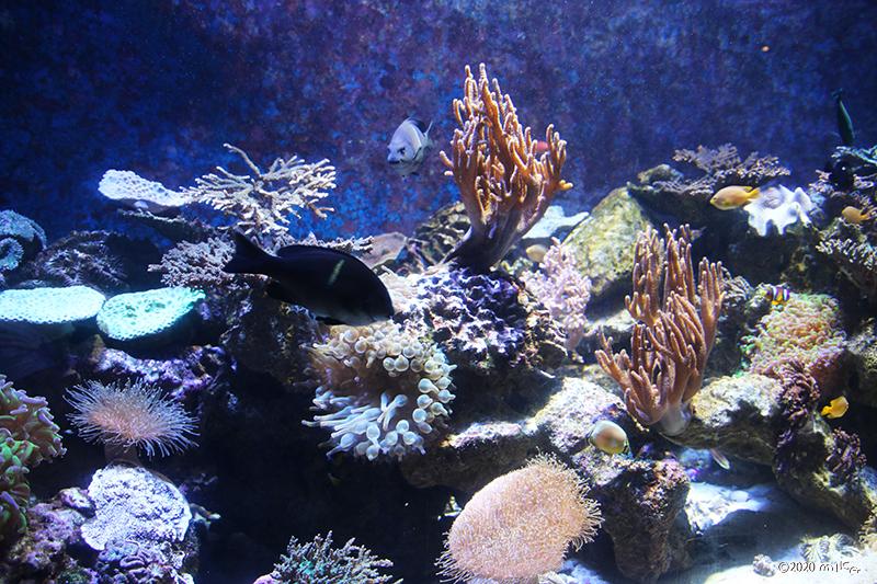 和歌山県 近海のサンゴ(和歌山県立自然博物館)