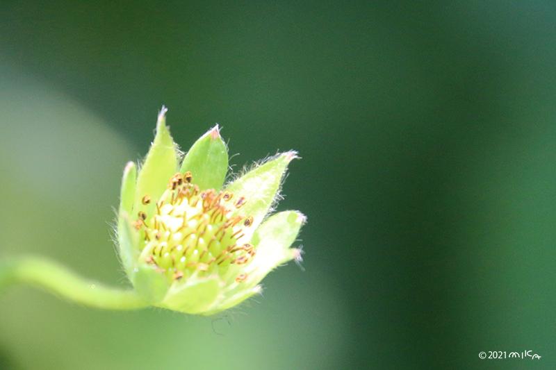 イチゴの花の終わり・実の始まり
