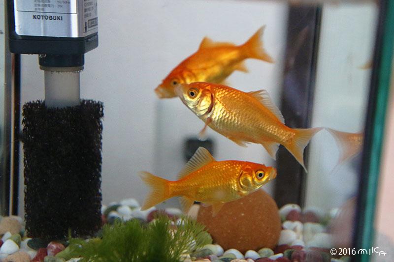 2か月後の金魚 4~5cm程度(9月)