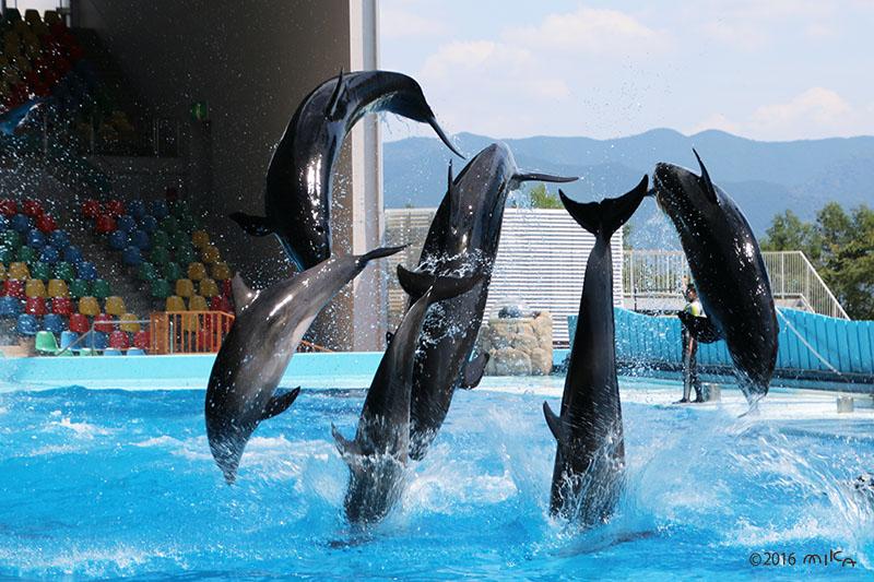 イルカのジャンプ②(白浜アドベンチャーワールド)