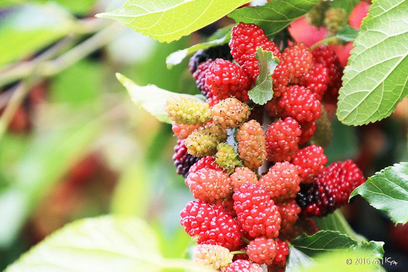 クワの実(Mulberry)赤く色づく