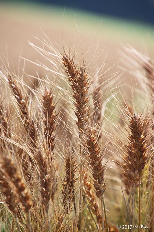 熟す麦の穂③