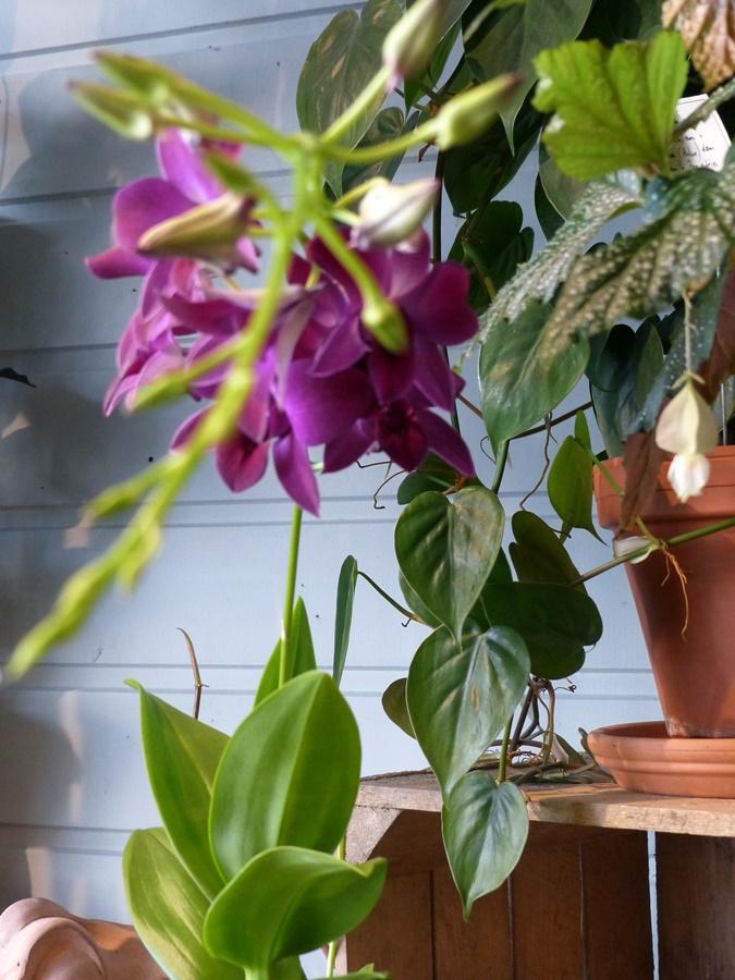 Orchidées, plantes verte d'appartement