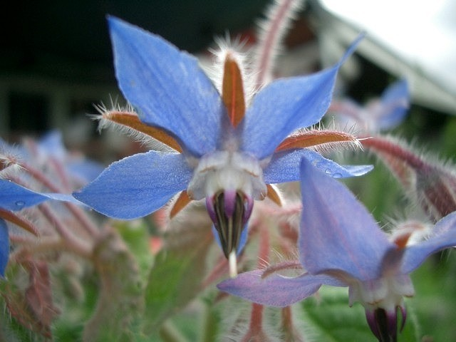 ハーブの花が咲き乱れる 写真はボリッジの花