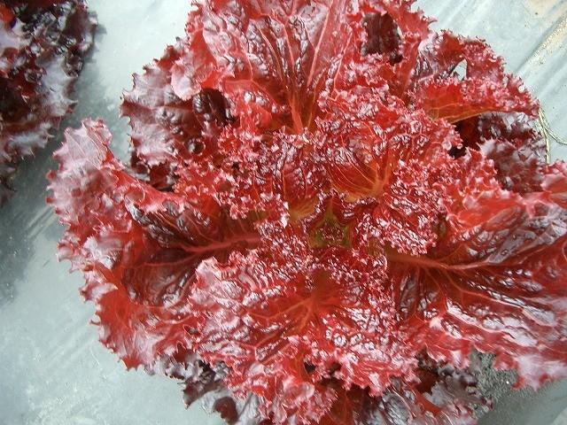 特殊な赤いレタスの品種