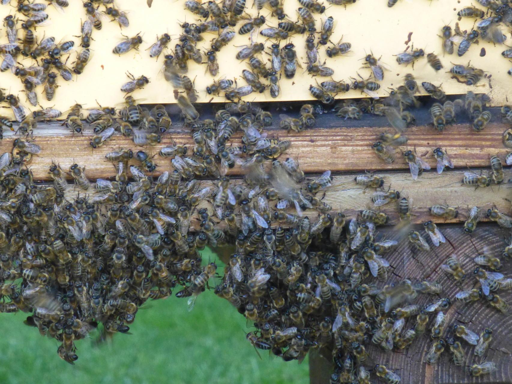 Bienen bei 38C im Schatten  (c) Edmund Schmutz