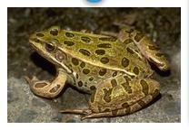 cykl życiowy żaby