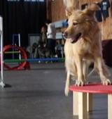 Hund springt auf den JAD Dogs Tisch