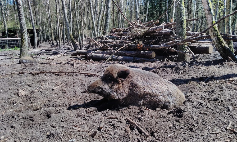 Die Wildschweine lassen die Besucher kalt.