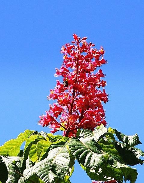 Erleuchtung erfüllt dich mit dem Liebreiz einer roten Kastanienblüte