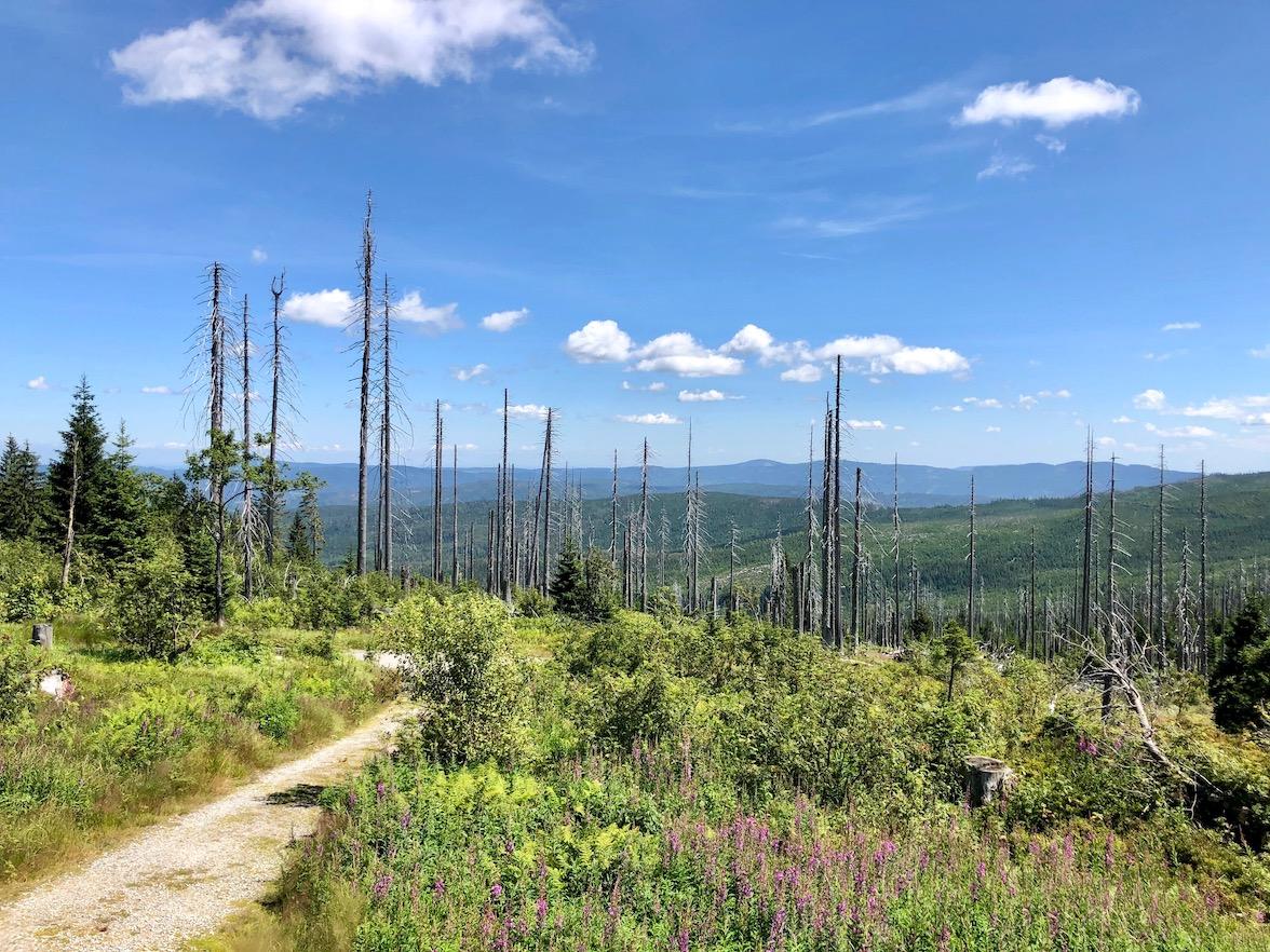 Blick auf tote Bäume vom Dreisessel