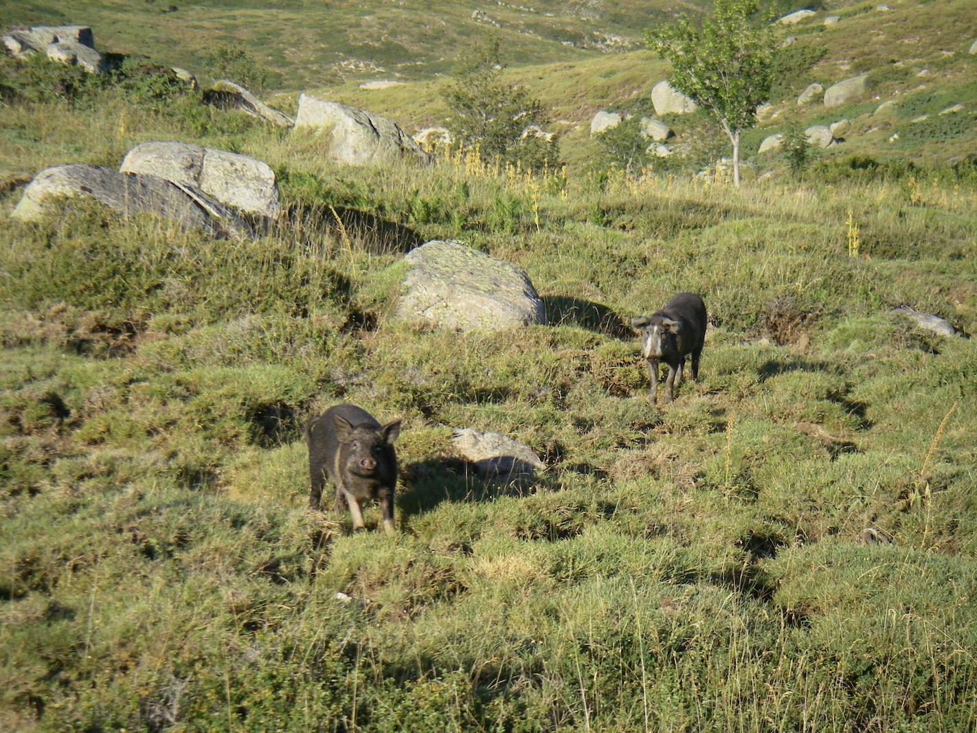 Zahme Wildschweine