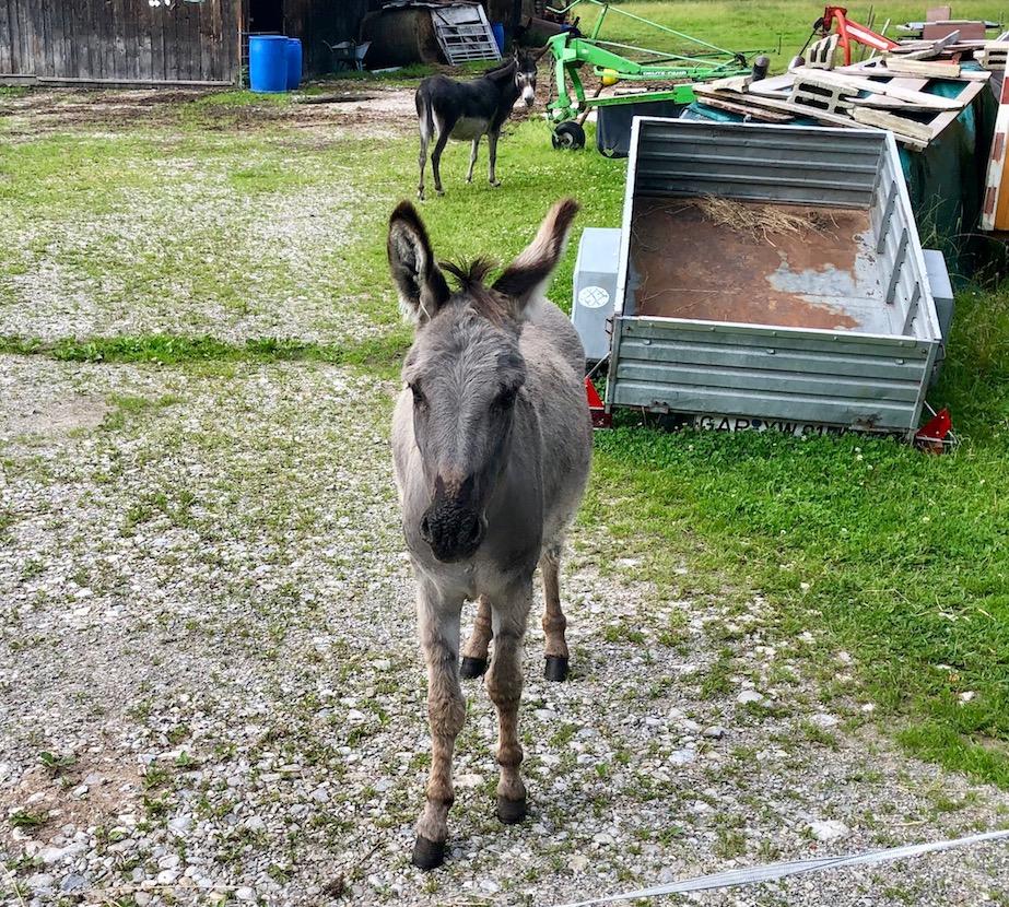 neugieriger Esel bei Ettal