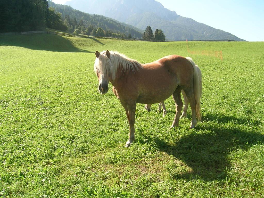 Unsere 2 Pferde auf den Wiesen am Appartement Riedhof