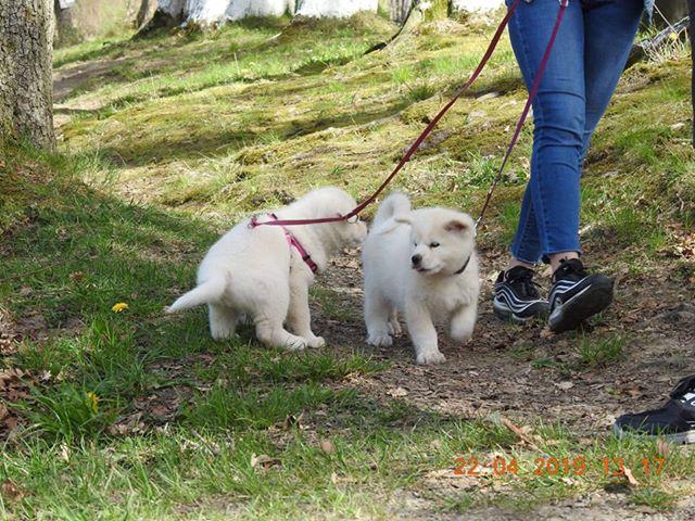 Sumiko du Domaine d'Omono. Femelle blanche. (à droite)