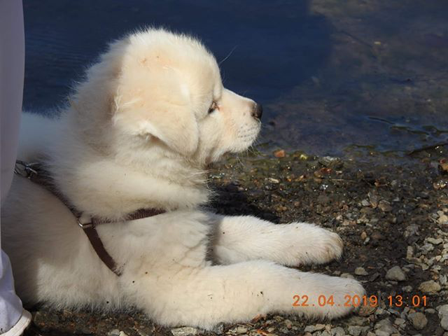 Sakina du Domaine d'Omono. Femelle blanche