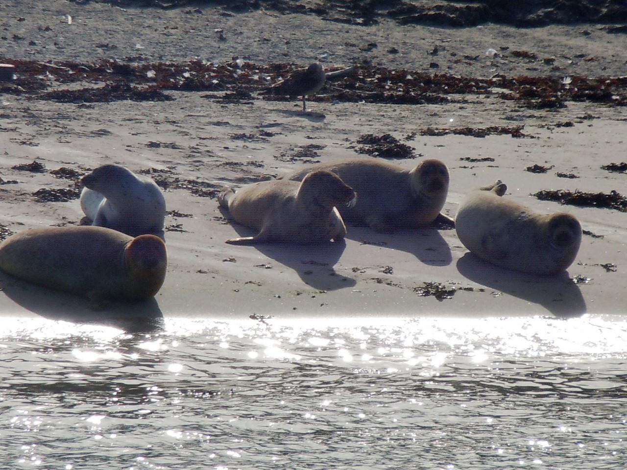 Seehunde bei Hoek van Holland