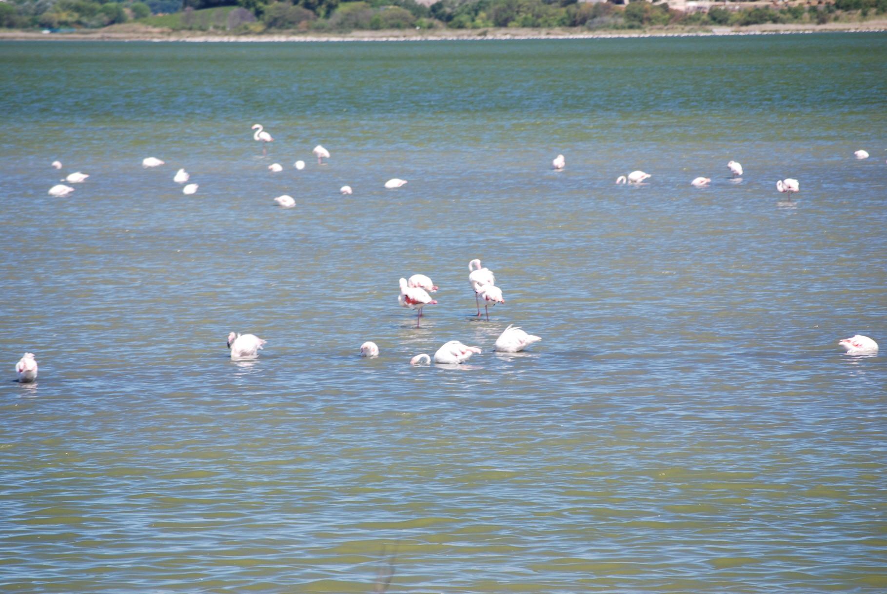 Ruhende Flamingos