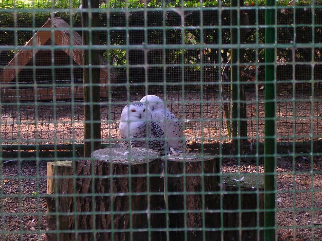 Schneeeulen im Tierpark von Deinze