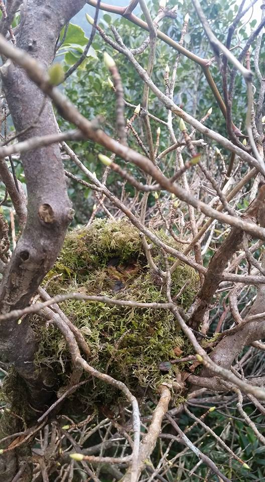 ミソサザイかアカコッコの巣