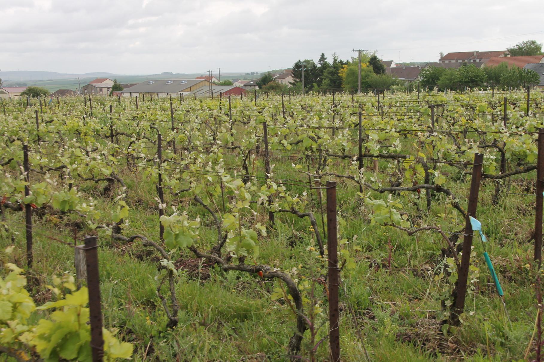 Vu sur les vignes...
