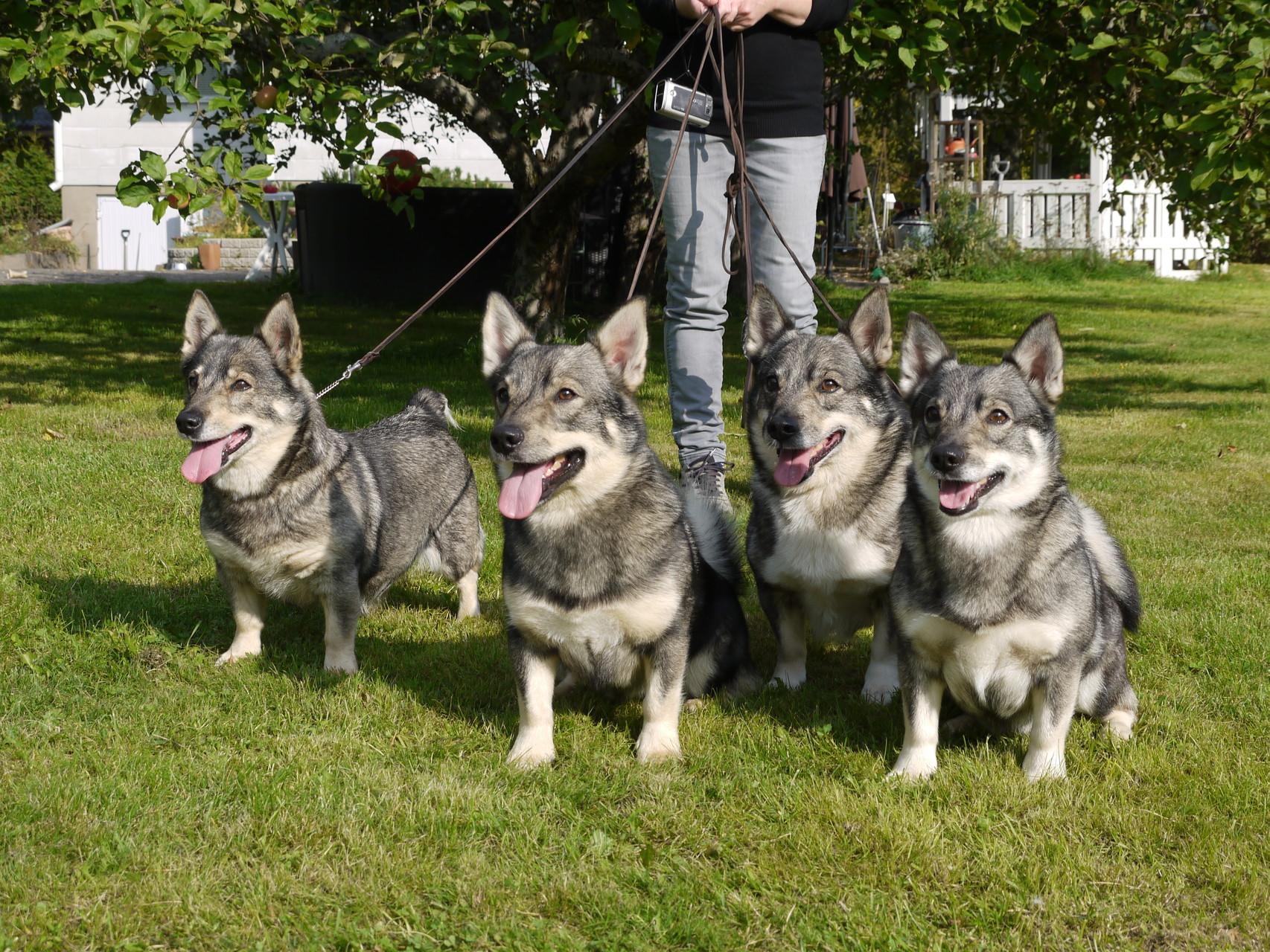 Vier generaties bij Jaxonville Kennel: Bessie, Upi, Andy en Ylva