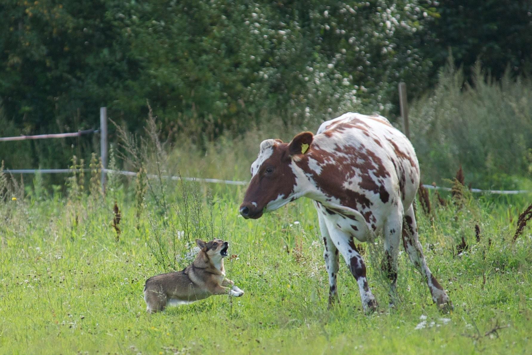 Västgötaspetsen zijn koeiendrijvers (foto: Oili Helenius)