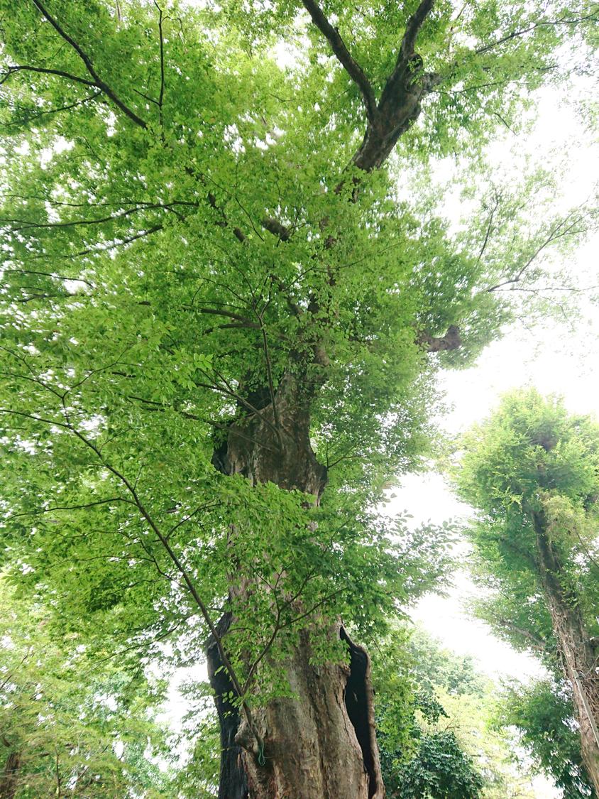 樹齢400年以上の「城山稲荷神社のケヤキ」 ※埼玉県指定天然記念物