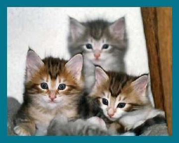 Katzenbabies in Amber: vorne zwei Tiere in Amber-tabby, hinten ein Kätzchen in Amber-light-tabby