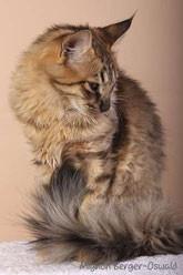 Dougie pa Elgsporet, Norwegische Waldkatze, amber