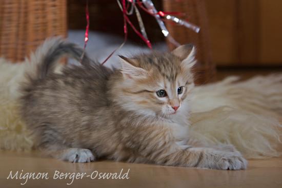 Salome vom Bergwald, Norwegische Waldkatze, ambertabby-mackerel, 7 Wochen alt