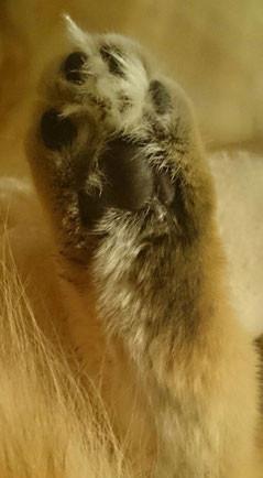 Norwegische Waldkatze, ambertabby-classic, 1,5 Jahre alt
