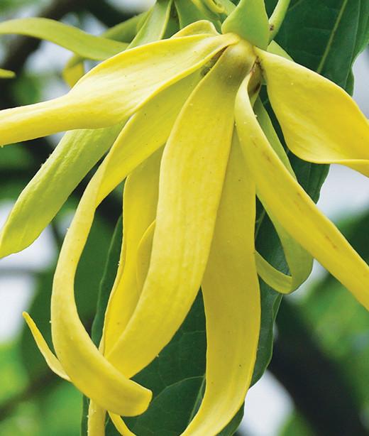 ylang ylang fleur compl te bio essence de ga a. Black Bedroom Furniture Sets. Home Design Ideas