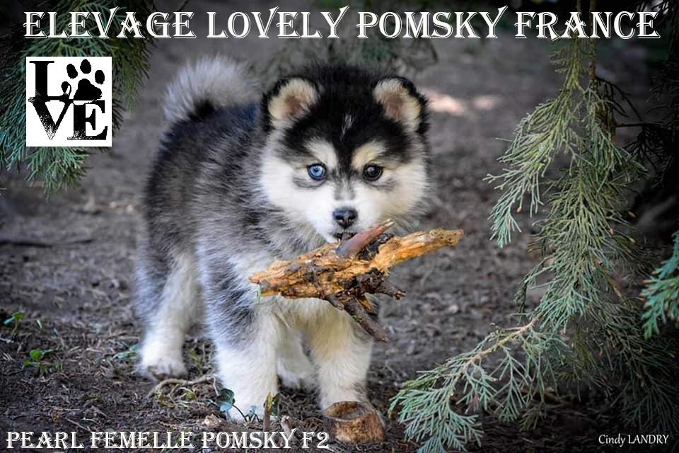 Femelle Pomsky F2