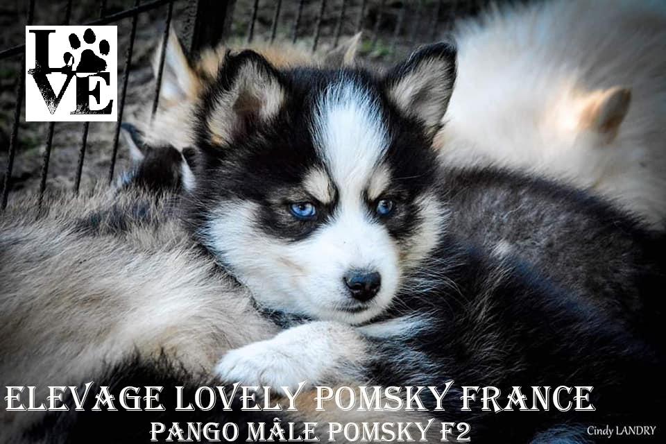 Mâle Pomsky F2