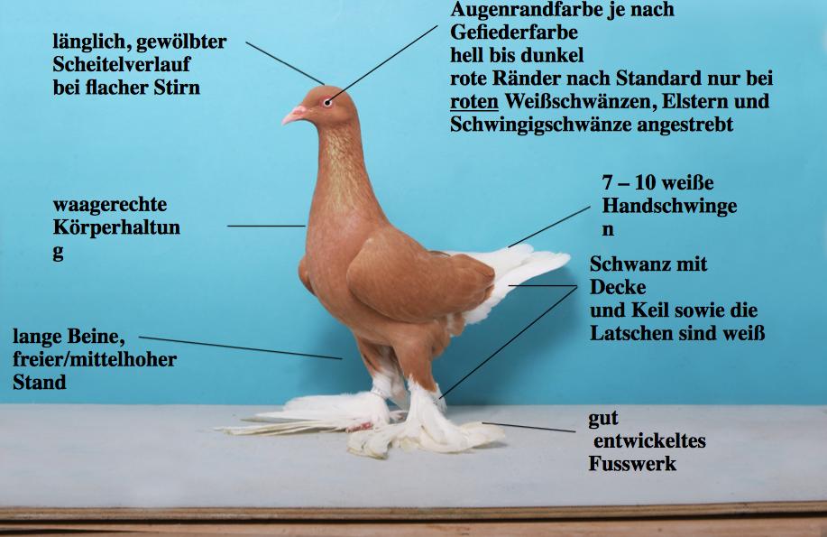 Berliner Langlatschige Tümmler