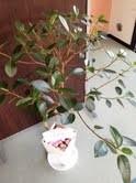 ゴムの木 from 元気堂さん