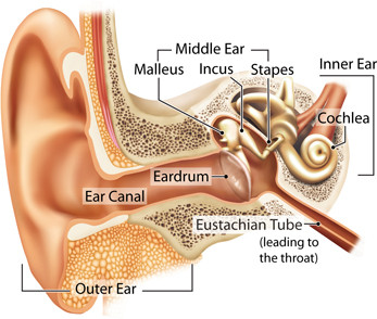 Diagram of the hearing system